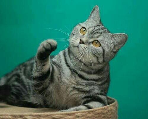 Британские котята - продажа.Купить британского котенка в питомнике ... | 402x500