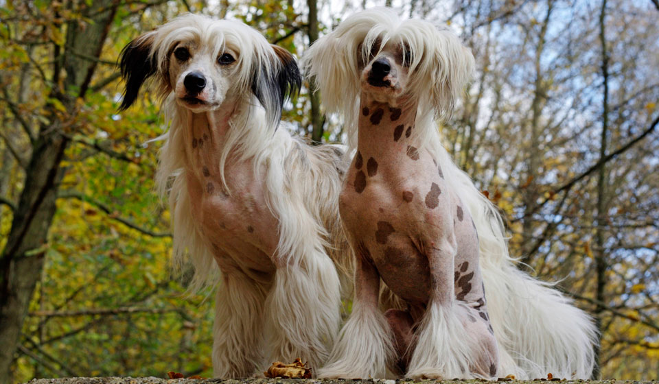 порода собак японская хохлатая