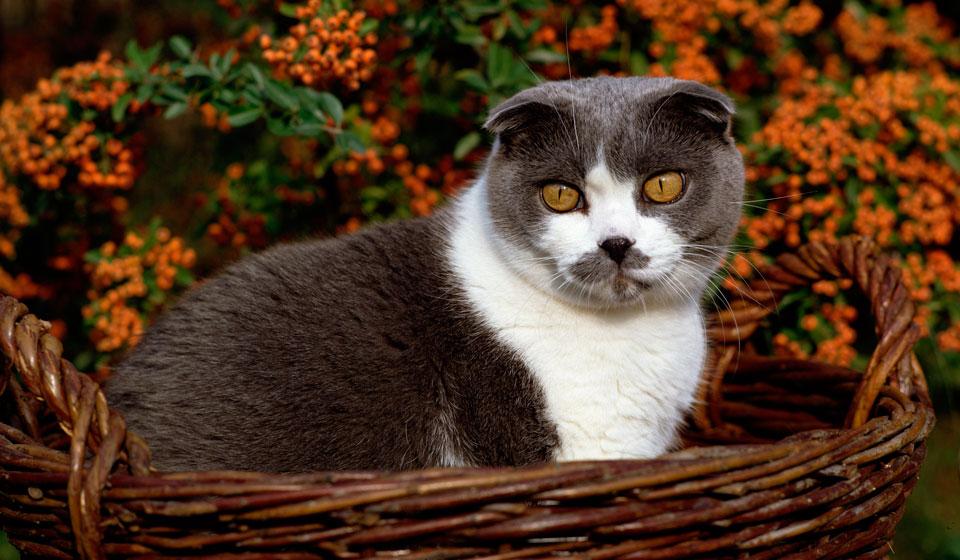 порода кошки шотландская вислоухая