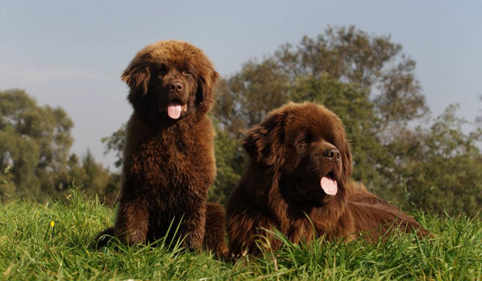 собаки водолаз
