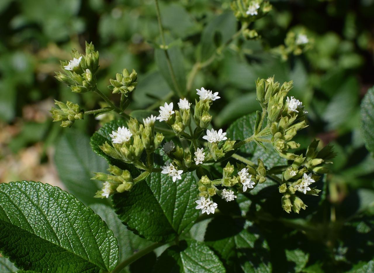 https//s1.stc.all.kpcdn.net/putevoditel/projectid_103889/images/tild3332-6436-4031-b432-333039366230__stevia-flowers-again.jpg