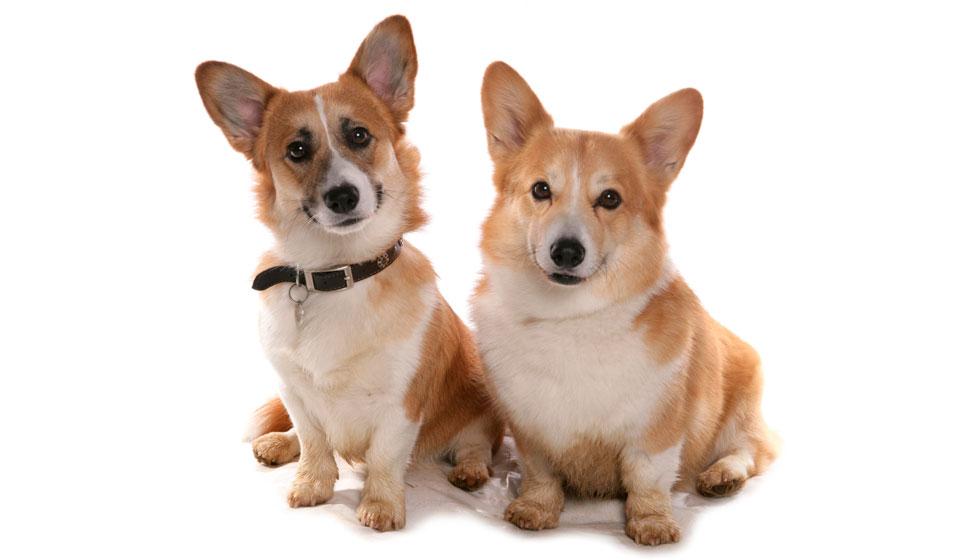 корги порода собак на английском