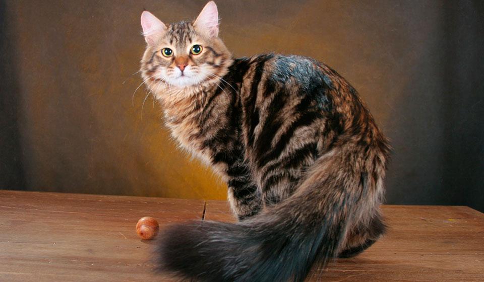 сибирская кошка фото описание породы цена