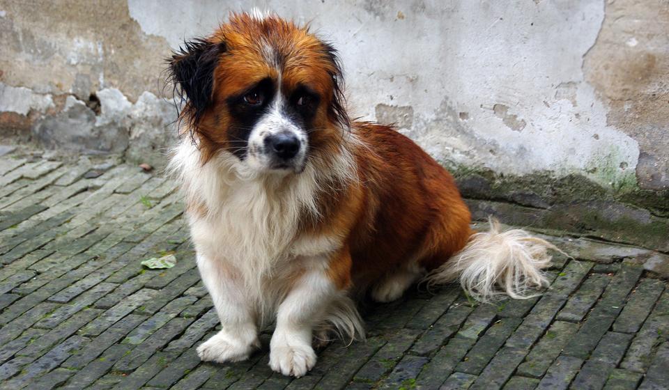 собаки сыворотка при коронавирусе