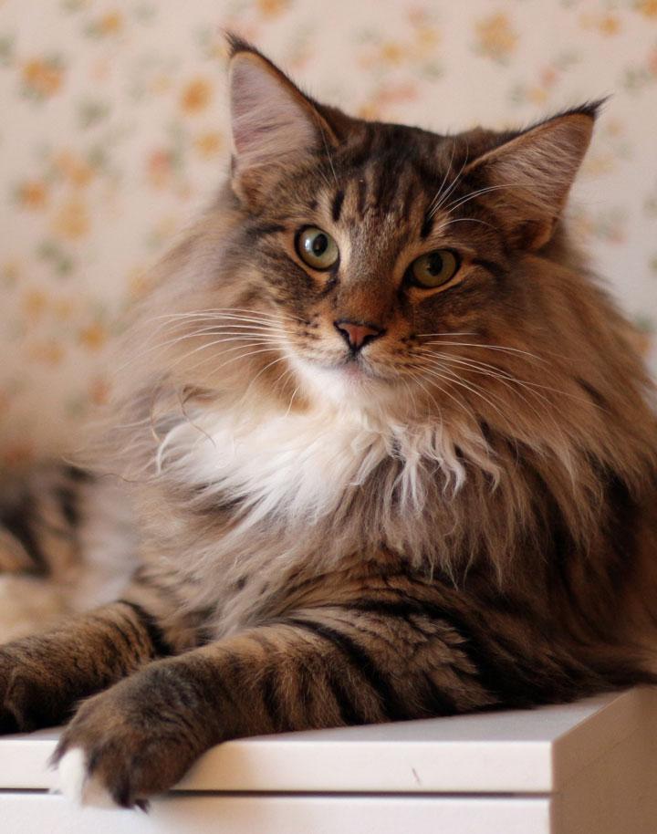 норвежская лесная кошка характеристика породы