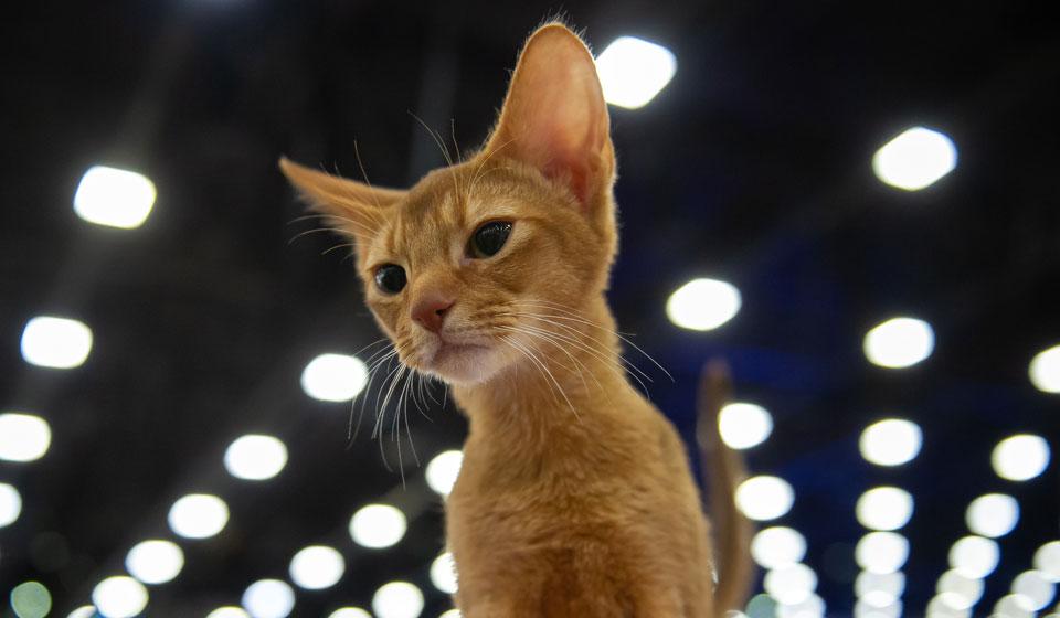 У какой породы кошек всегда жёлтые глаза, окрас кошки с жёлтыми ... | 560x960