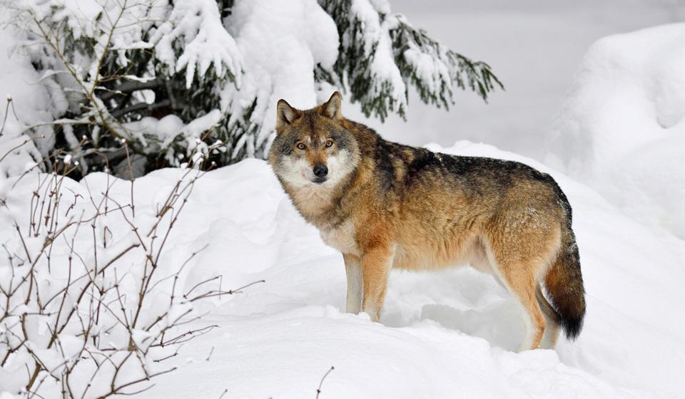К чему снятся волки по соннику: толкование снов про волков