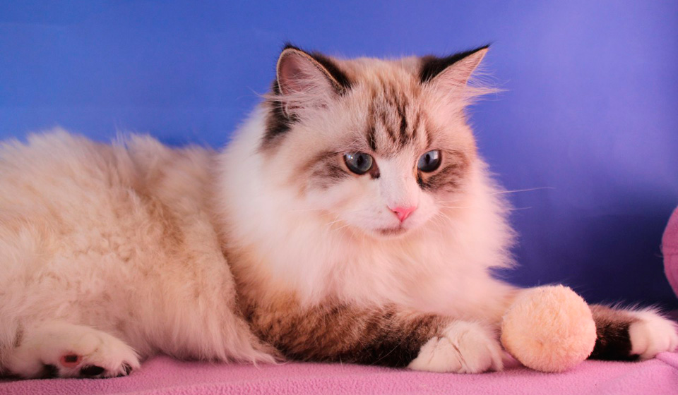 кот породы невская маскарадная фото