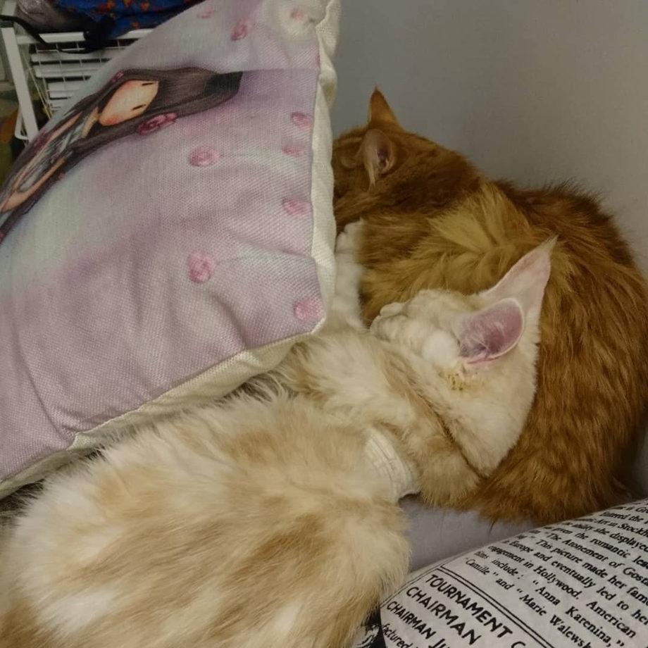 профилактика коронавируса у кошек