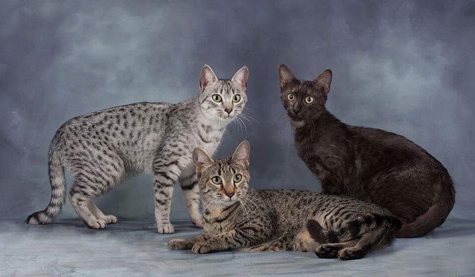 египетская порода кошек