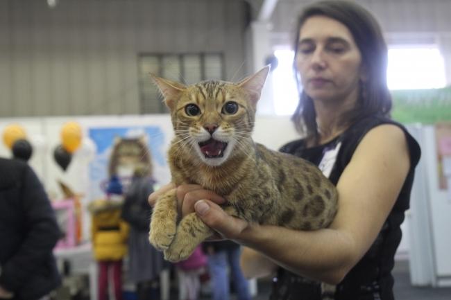 Кошка бенгальская: описание породы и характера, здоровье, уход ... | 433x650