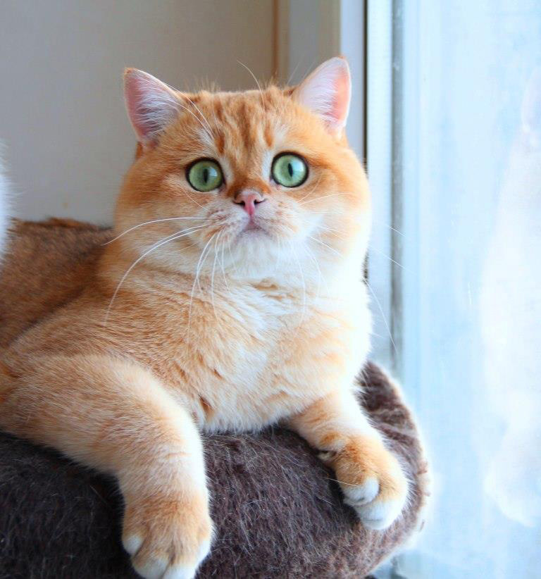 активный кошка золотистая шиншилла фото блюдом ней