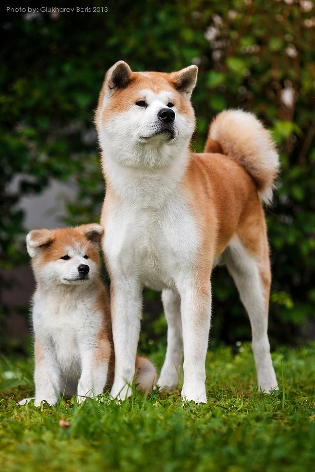 порода акита ину фото щенки наоборот, убедиться