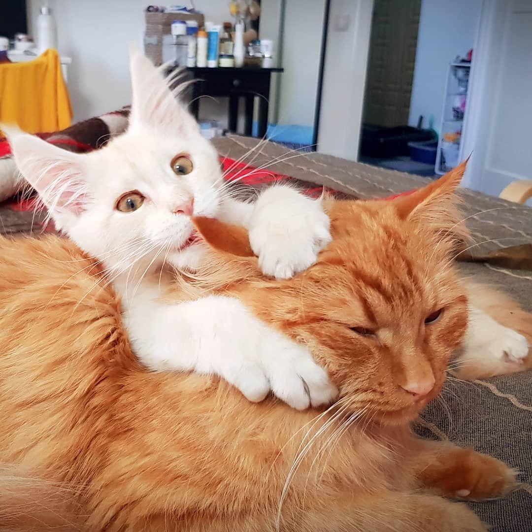 коронавирус у кошек излечим