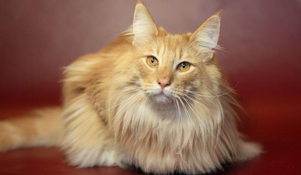 норвежская порода котов