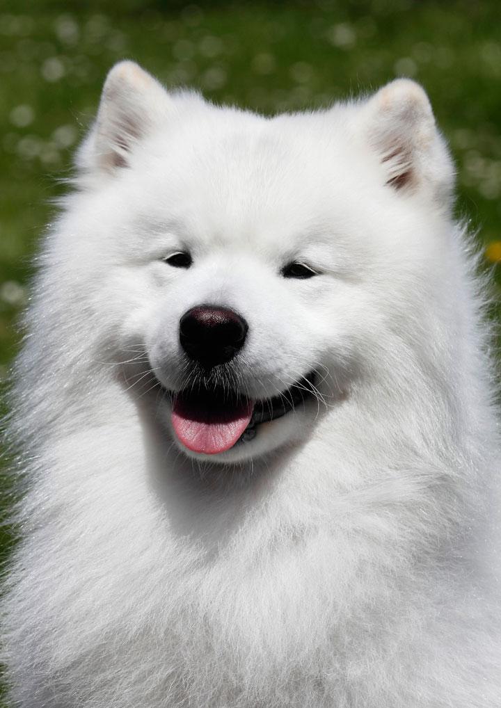 фото породы собак самоед