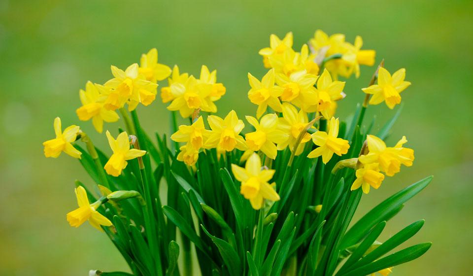 Цветок нарцисс: посадка и уход в открытом грунте