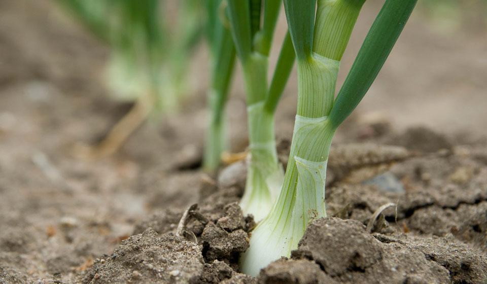 с чем посадить лук