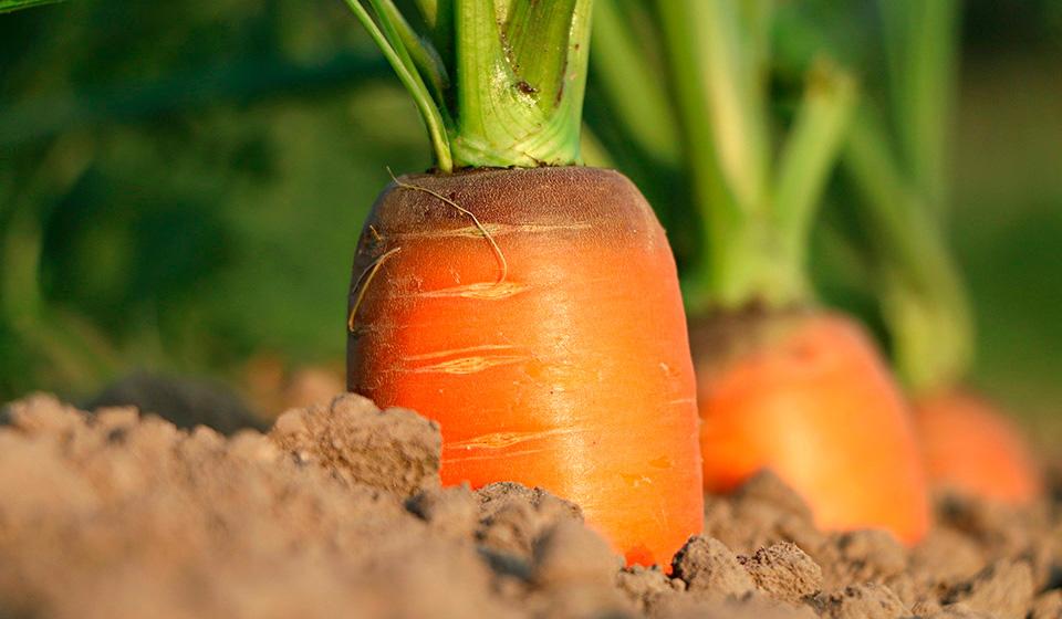 Морковь: выращивание, посадка, уход в открытом грунте
