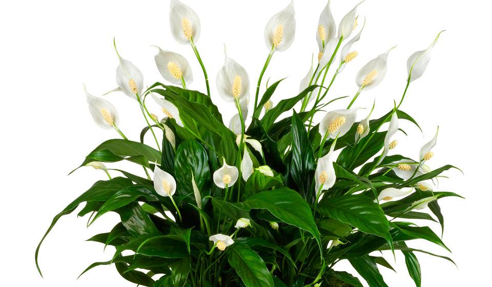 Цветок — женское счастье