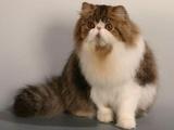 персидская порода кошек фото. персидские кошки персидская порода кошек...
