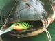 Март 15, 2012 at 10:12.  Сом является одним из самых крупных обитателей пресноводных водоемов.