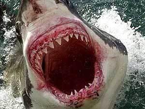 4,2 метра большая белая акула прыжки с моря на опасных рифов у...