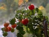 На каком расстоянии сажать помидоры.