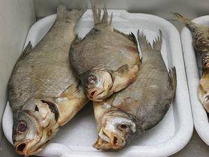 В Алтайском крае от отравления рыбой умерла 6-летняя девочка