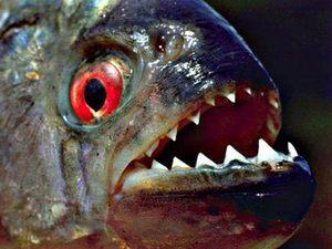 Пираньи.  Красота этих рыб.