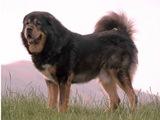 Самка тибетского мастифа родила 19 щенков.