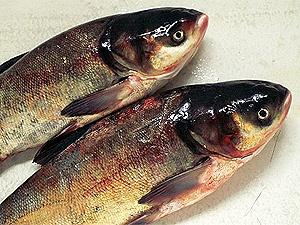 рыбные блюда толстолобик.