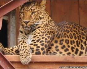 Самка леопарда в Одесском зоопарке ревнует своего...