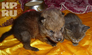 Волчонок начал прикусывать своего сводного брата - котенка Степашку, и их в зоопарке разлучили.
