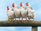 В данной статье рассмотрим основные инфекционные заболевания птиц.
