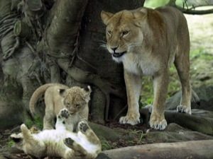 Львица ласково играет только со своими дочерьми.