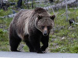 """Легенда  """"Медведи и люди """""""