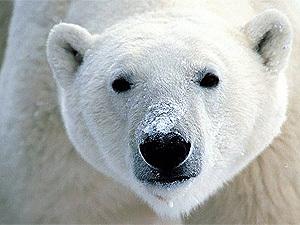 Обои, Морда белого медведя, Морда, Белый медведь, 1500x1000, картинки.