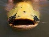 ...Пенфонд из Лондона поймала на том же озере в Испании самого большого сома-альбиноса на.