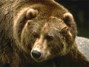 Рядом с дачами в Емельяновском районе медведь напал на человека