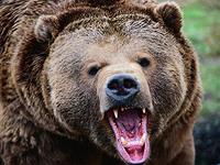 В Томской области медведь напал на человека.