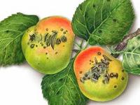 Парша яблони.  Грибные болезни растений.