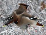 Представители рода- древесные птицы северных лесов.  Они охотятся на насекомых летом