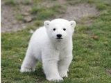 More Photos of Cute Polar Bear.
