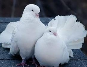 Надо быть осторожными и заказывать голубей у знающих людей.