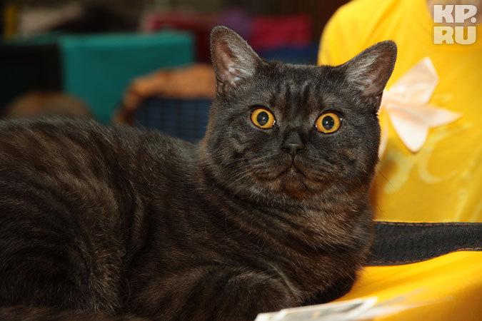 В  ДК 'Дружба' города Иркутска 29 апреля пройдет выставка кошек по американскому формату