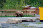 Томские медведи идут в Новосибирск