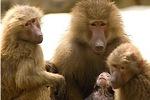 Настоящая дружба даже обезьянам продлевает жизнь