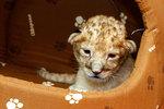Родившегося в цирке львенка назвали Самарой