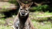 В Австралии кенгуру сутки заботился о потерявшемся ребенке